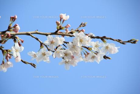 桜の素材 [FYI00421132]
