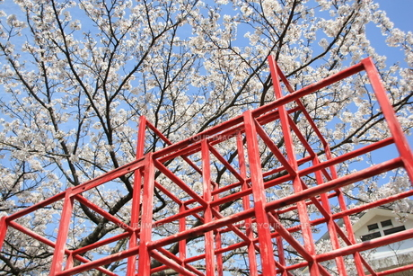桜とジャングルジムの素材 [FYI00421138]
