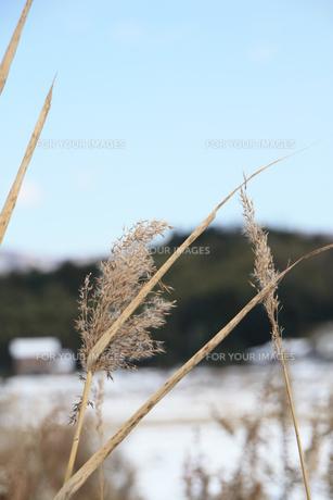 ススキと雪景色の素材 [FYI00421151]