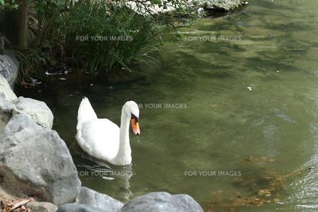 白鳥の素材 [FYI00421153]