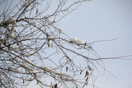 枯れ木に積雪の素材 [FYI00421168]