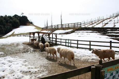 冬の羊たちの素材 [FYI00421175]
