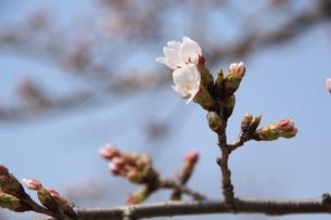 咲きかけているさくらの素材 [FYI00421177]