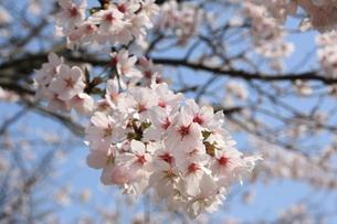 桜の素材 [FYI00421184]