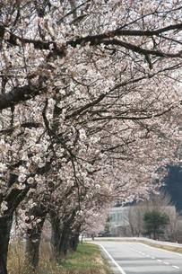 桜並木の素材 [FYI00421195]