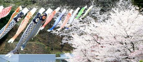 桜と鯉のぼりの素材 [FYI00421196]