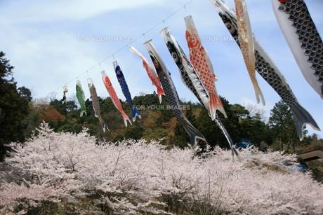 鯉のぼりと桜の素材 [FYI00421208]