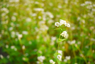 蕎麦の花の写真素材 [FYI00421218]