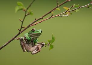 枝に掴まるカエルの写真素材 [FYI00421314]