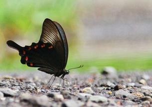 休む蝶の写真素材 [FYI00421319]