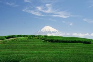 富士山と茶畑の写真素材 [FYI00421321]