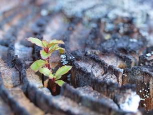 枯れ木から出た新しい生命の写真素材 [FYI00421323]