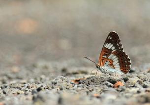 休む蝶の写真素材 [FYI00421326]