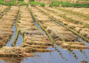収穫後の田んぼの写真素材 [FYI00421338]