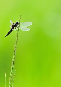 草にとまるトンボの写真素材 [FYI00421339]
