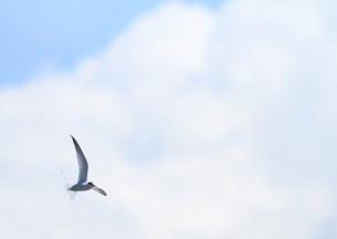 空を飛ぶ鳥の写真素材 [FYI00421341]