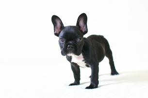 フレンチブルドッグの子犬の写真素材 [FYI00421346]