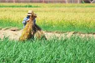 稲刈りする女性の写真素材 [FYI00421348]