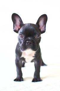フレンチブルドッグの子犬の写真素材 [FYI00421353]