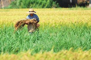 稲刈りをする老人の写真素材 [FYI00421357]