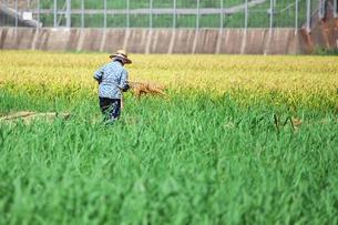 稲刈りをする人の写真素材 [FYI00421359]
