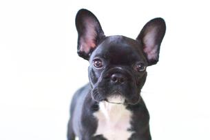フレンチブルドッグの子犬の写真素材 [FYI00421364]