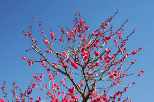 紅色の梅の花の写真素材 [FYI00421382]
