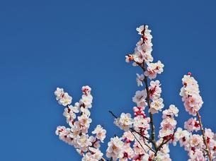 きれいなピンクの梅の花の写真素材 [FYI00421384]