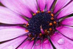 花と水滴の写真素材 [FYI00421395]