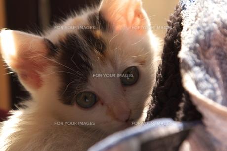 見つめる子猫の写真素材 [FYI00421398]