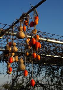 柿と瓢箪の写真素材 [FYI00421401]