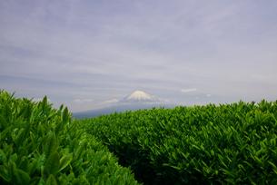 新茶の茶畑と富士山の写真素材 [FYI00421402]