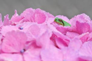 紫陽花と蛙の写真素材 [FYI00421414]