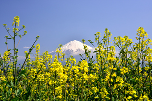 菜の花と富士山の写真素材 [FYI00421427]