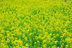 満開の菜の花の写真素材 [FYI00421434]