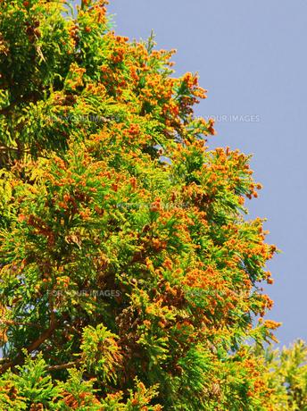 杉の花粉の写真素材 [FYI00421439]
