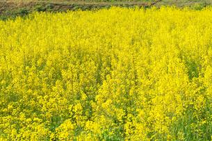 春の菜の花畑の写真素材 [FYI00421446]