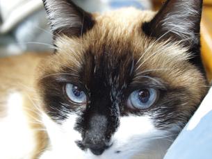 愛しのハナクソ猫の写真素材 [FYI00421477]