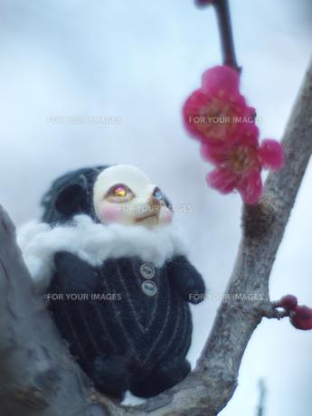 ハリネズミのハリー(仮)、梅を見るの写真素材 [FYI00421486]