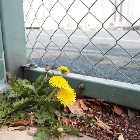 フェンス脇に咲くたんぽぽの素材 [FYI00421499]