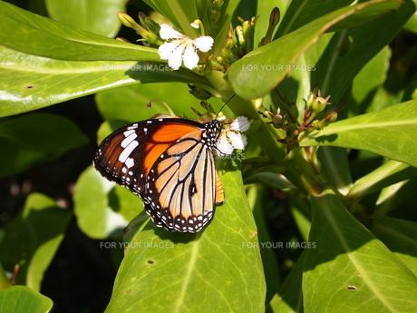 宮古島の蝶の素材 [FYI00421540]