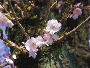 新芽と桜の写真素材 [FYI00421636]