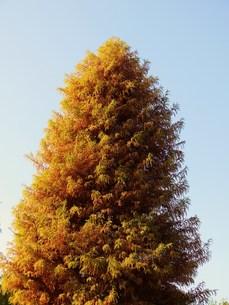 高木の紅葉の写真素材 [FYI00421638]