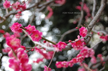 梅の花の写真素材 [FYI00421699]