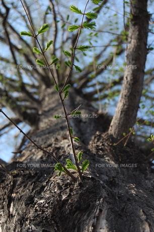 芽吹く木の素材 [FYI00421702]