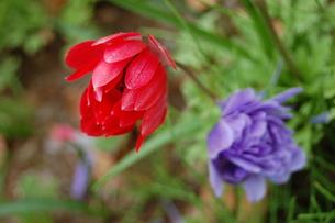 赤と紫の花の素材 [FYI00421706]