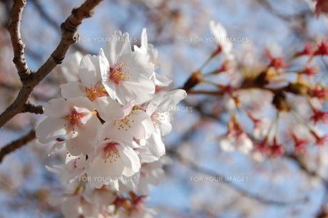 桜の素材 [FYI00421707]