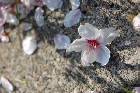 桜の花びらの素材 [FYI00421708]