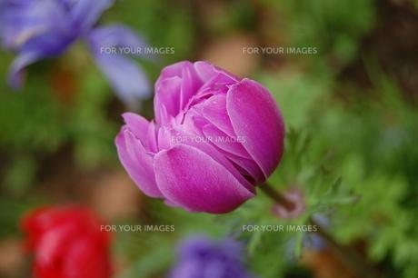 雨粒のついた紫のチューリップの素材 [FYI00421709]