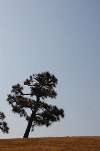 松の木の素材 [FYI00421713]
